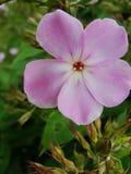 Den rosa purpurfärgade floxen blommar i trädgården Denna är blommor av phloxen Det är temat av säsonger Royaltyfri Bild