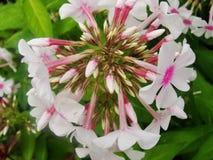 Den rosa purpurfärgade floxen blommar i trädgården Denna är blommor av phloxen Det är temat av säsonger Arkivfoton