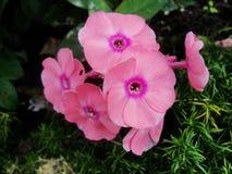 Den rosa purpurfärgade floxen blommar i trädgården Denna är blommor av phloxen Det är temat av säsonger Fotografering för Bildbyråer