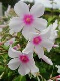 Den rosa purpurfärgade vita floxen blommar i trädgården Denna är blommor av phloxen Det är temat av säsonger Royaltyfri Bild