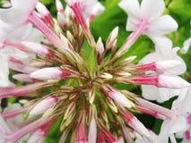 Den rosa purpurfärgade vita floxen blommar i trädgården Denna är blommor av phloxen Det är temat av säsonger Arkivfoton