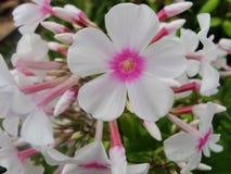 Den rosa purpurfärgade vita floxen blommar i trädgården Denna är blommor av phloxen Det är temat av säsonger Fotografering för Bildbyråer