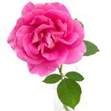Den rosa ron med bevattnar liten droppe Royaltyfri Bild