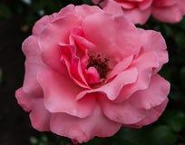 den rosa rosen avslöjer doftande kronblad fotografering för bildbyråer