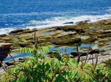 Den Rosa rugosaen, havet steg, innan det blommade, med havsprej i bakgrund arkivbilder