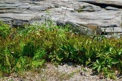 Den Rosa rugosaen, havet steg, innan det blommade royaltyfria foton