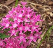 Den rosa stjärnan blommar över komposttäckning Royaltyfria Bilder