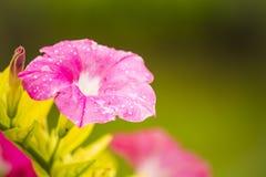 Den rosa trumpetvinrankan blommar, texturer och bakgrunder Royaltyfri Foto