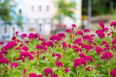 Den rosa tuppkammen blommar i trädgården Royaltyfria Bilder