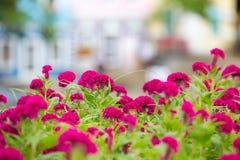 Den rosa tuppkammen blommar i trädgården arkivbild