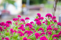 Den rosa tuppkammen blommar i trädgården Royaltyfri Fotografi