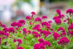 Den rosa tuppkammen blommar i trädgården Arkivfoto