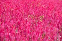 Den rosa tuppkammen blommar i trädgården Fotografering för Bildbyråer