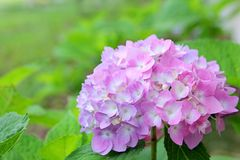 Den rosa vanliga hortensian blommar framme av grön bladbakgrund Royaltyfri Fotografi