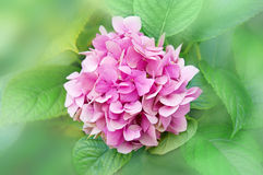 Den rosa vanliga hortensian blommar i trädgården mot bakgrunden av G Royaltyfria Bilder