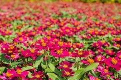 Den rosa vildblomman är så härlig Fotografering för Bildbyråer