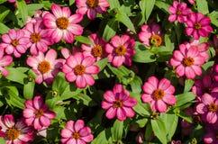 Den rosa vildblomman är så härlig Royaltyfria Bilder