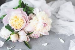 Den rosa vita pastellfärgade pionen blommar på Grey Concrete Background royaltyfri fotografi