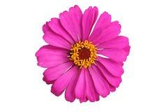 Den rosa zinniaen Elegans isolerade Arkivfoto