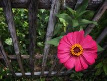 Den rosa zinniaviolaceablomman med gult pollen blommar på stjälk i trädgården nära trästaketet arkivbild