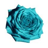 Den Rose Turquoise blomman på vit isolerade bakgrund med den snabba banan Closeup inga skuggor Royaltyfria Foton