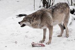 Den rov- vargen vrålar angrily och att gör bar hans tänder hon bevakar ett stycke av kött från fiender som är rätt av förlorande  arkivbilder