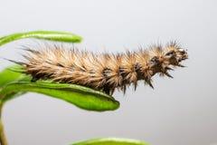 Den Ruby Tiger larven (den Phragmatobia fuliginosaen) Arkivfoto