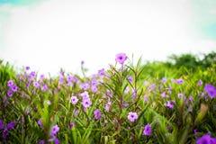 Den Ruellia tuberosaRuellia clandestinaen är den violetta blommabloominen Royaltyfria Bilder