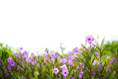Den Ruellia tuberosaRuellia clandestinaen är violetta blommor Royaltyfri Fotografi