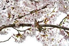 Den Rufous kolibrin dricker nektar från blommor, medan sväva arkivfoto