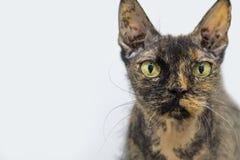 Den ruskiga blicken av en inhemsk katt arkivbilder