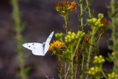Den rutiga vita fjärilen på den Laguna kustvildmarken parkerar fotografering för bildbyråer