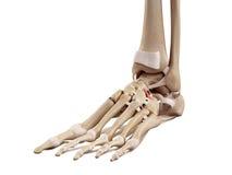 Den rygg- cuboideonavicular ligamentet arkivfoton