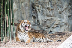 den rytande tigern Fotografering för Bildbyråer