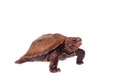 Den Ryukyu bladsköldpaddan på vit Fotografering för Bildbyråer