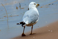 Den säkra seagullen Royaltyfria Bilder