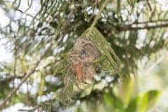 Den sällsynt, hotad & endemiskkvinnlign Usambara Dubblett-försåg med krage Sunbir royaltyfria bilder