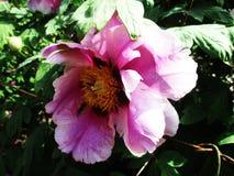 Den sällsynta härliga rosa färgen blommar att blomma i botaniska trädgården arkivbilder