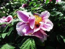 Den sällsynta härliga rosa färgen blommar att blomma i botaniska trädgården royaltyfria foton