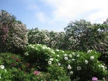 Den sällsynta härliga rosa färgen blommar att blomma i botaniska trädgården fotografering för bildbyråer