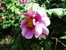 Den sällsynta härliga rosa färgen blommar att blomma i botaniska trädgården royaltyfri foto