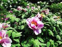 Den sällsynta härliga rosa färgen blommar att blomma i botaniska trädgården royaltyfria bilder