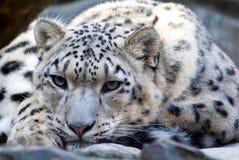 Den sällsynta snöleoparden royaltyfria foton