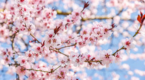 Den säsongsbetonade våren blommar trädbakgrund arkivbilder