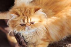 Den sömniga gula persiska katten Royaltyfri Bild
