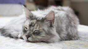 Den sömniga Maine Coon Royaltyfria Bilder