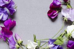 Den söta ärtan blommar mot en grå bakgrund Royaltyfria Bilder