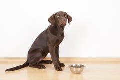 Den söta bruna labrador hunden äter hundmat Royaltyfri Bild