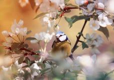 Den söta fågeln för den blåa mesen sitter, och allsånger i vår parkerar i solig dag Royaltyfria Bilder