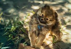 Den söta Pomeranian valpen ser busig in i kameran Arkivbilder